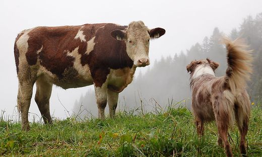 Wieder war ein Hund Ursache für eine Kuhattacke (Symbolbild)