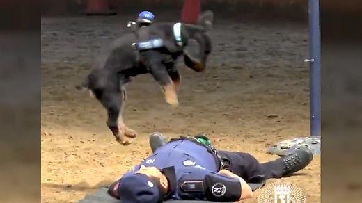 Tierische Herzdruckmassage: Polizeihund wird zum Internet-Star