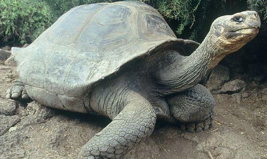 Die Galápagos-Riesenschildkröten leben seit Millionen von Jahren auf der Insel