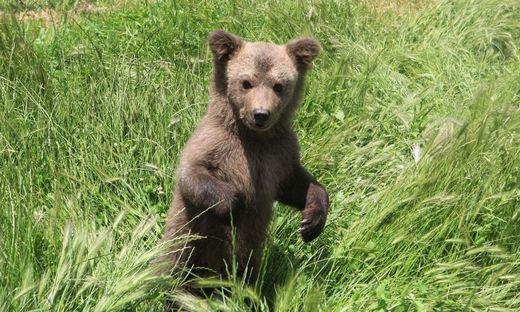 Verwaistes Bärenjunges aus Keller im Kosovo gerettet