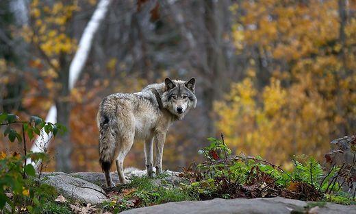 Dringenden Handlungsbedarf sieht man auf der Hochrindl, was den Wolf betrifft