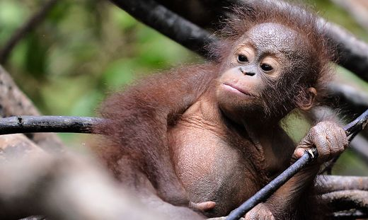 FILES-SCIENCE-ENVIRONMENT-US-BORNEO-ANIMAL-BRITAIN-GERMANY