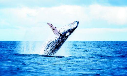 Gleich mehrere Wale tauchten an der kroatischen Küste auf