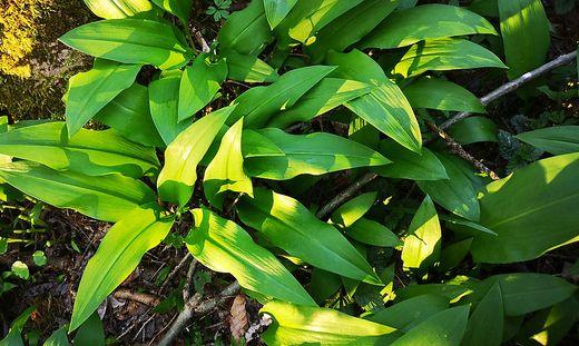 So sieht echter Bärlauch aus, eine Pflanzenart aus der Gattung Allium und somit verwandt mit Schnittlauch, Zwiebel und Knoblauch