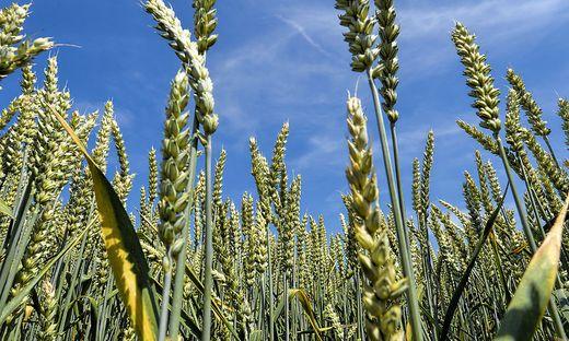 Die Anbauflächen für Weizen gehen deutlich zurück