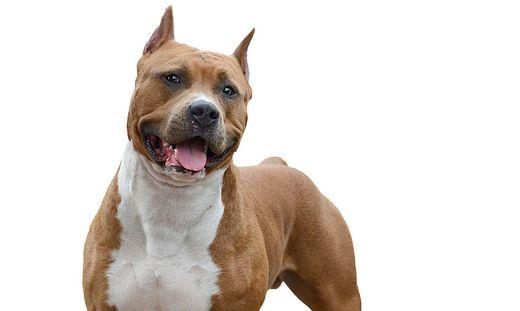 """Die Frauen wurden von einer """"American Staffordshire Terrier""""-Hündin attackiert (Symbolfoto)"""
