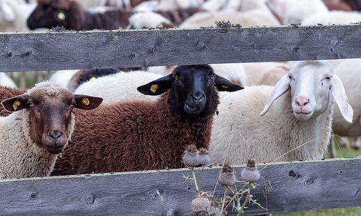 Binnen einer Woche fand man in Osttirol drei tote Schafe, jetzt wird nach Verursacher gesucht