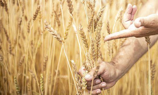 In Kärnten hat die Getreideernte begonnen. Man rechnet mit einem durchschnittlichen Ergebnis. Das Wetter wird aber zunehmend zum Problem