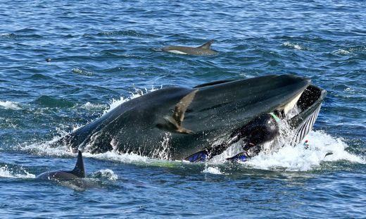 Wal Maul Taucher Südafrika