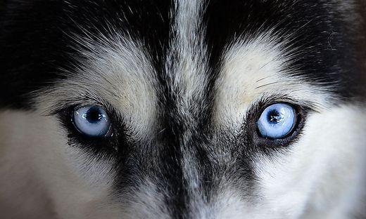 Forschung: Deshalb haben Huskys so blaue Augen