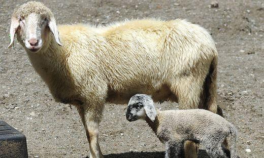 Hunde rissen Schafe auf Weide