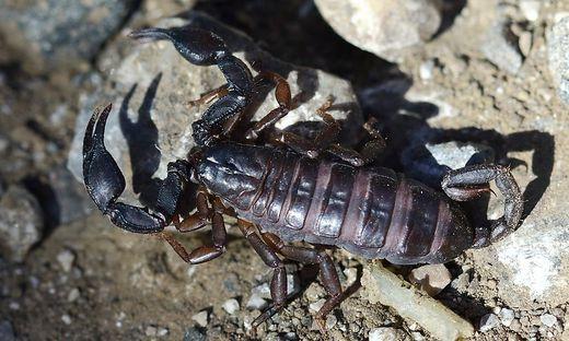 Der Skorpion ist circa fünf Zentimeter groß