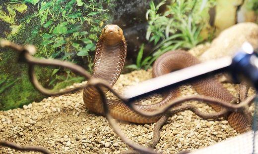 Zehn hochgiftige Schlangen, wie diese Kobra, lagen in ungesicherten Plastikboxen in der Wohnung eines Klagenfurter Häftlings