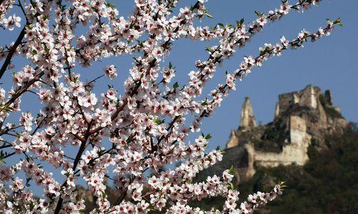 Die ersten Marillenbäume könnten schon rund um den 25. März blühen