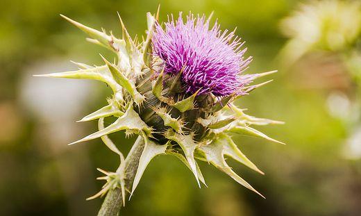 Mariendistel: Was die Arzneipflanze des Jahres kann