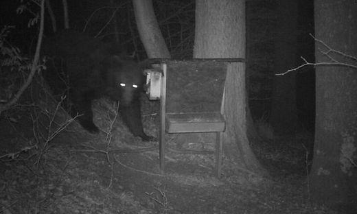 Auf dieser Aufnahme einer Wildkamera ist der etwa zwei Jahre alte Braunbär gut zu erkennen