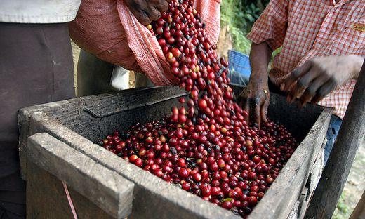 Der Preis für Kaffeebohnen ist stark gefallen