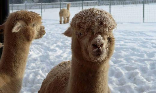 Spaß am Schnee haben auch die Alpakas