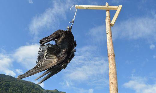 Die Krähen werden geschossen und dann aufgehängt