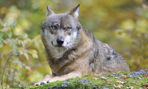 Laut einer Studie können Wölfe den Menschen nur gefährlich werden, wenn sie krank oder an Menschen gewöhnt sind (Symbolfoto)