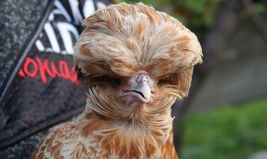 Bei einem Paduaner handelt es sich um ein Huhn mit großer Vollhaube