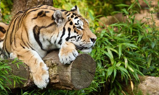 Angriff im Freizeitpark: Tiger reißt Mann beide Arme ab
