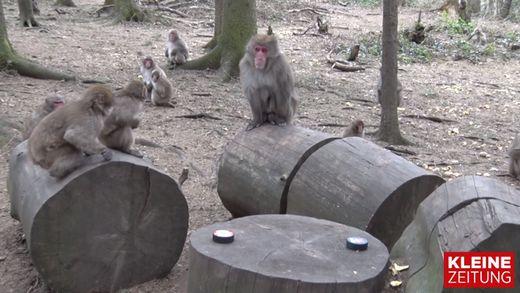 Die Affen tippen auf den KAC