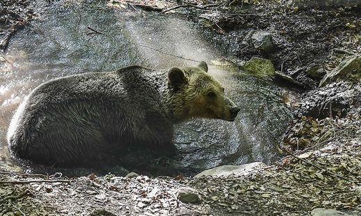 UnterschätztTaxifahrer will Selfie mit verwundetem Bären schießen: tot
