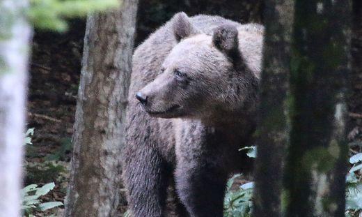 Bilder wie diese sind in Slowenien keine Seltenheit. Dort sollen derzeit 750 Bären ständig leben