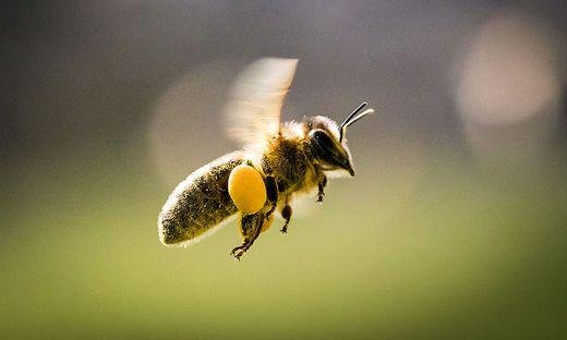 Eine Biene ist zwischen elf und 17 Millimeter klein und