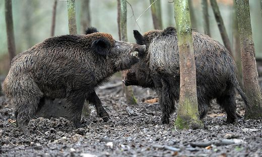 Wildschweine sind im Grazer Westen - am Buchkogel, Plabutsch und in Thal umtriebig.
