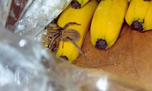Giftige Bananenspinne dürfte eine Supermarkt-Angestellte gebissen haben
