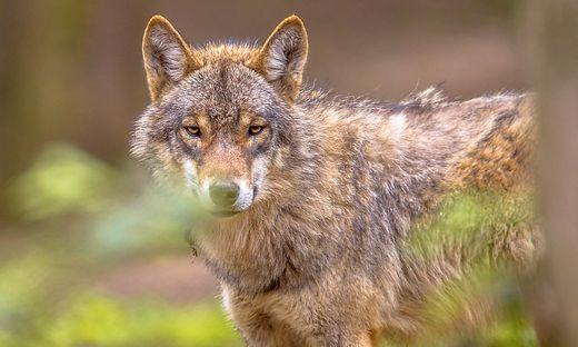 Der Wolf ist in Europa nicht mehr vom Aussterben bedroht, in der Fauna-Flora-Habitat-Richtlinie aber streng geschützt