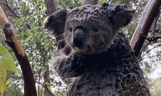 Auch die Koalas müssen weiter leiden