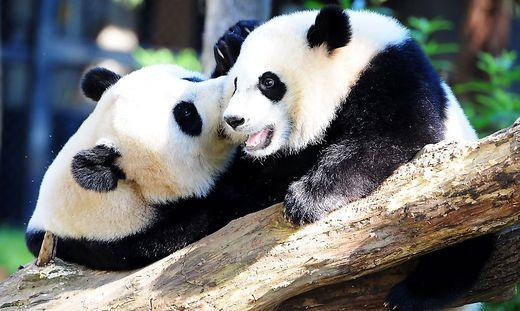 US-ANIMAL-PANDA