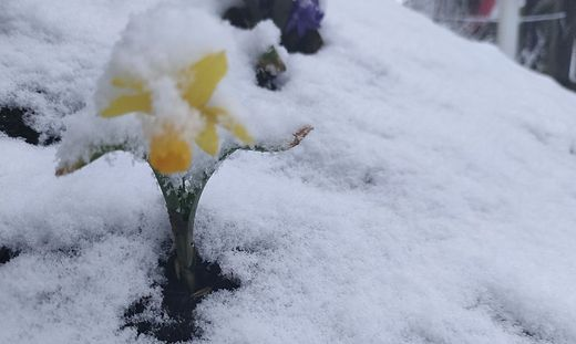 Frühlingsboten mit Schneehaube