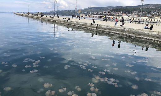 Schwärme von Quallen in der Bucht von Triest