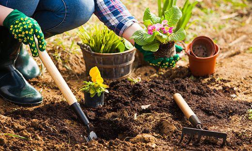Gardener planting flowers in soil at back yard