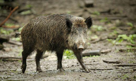 Schutz Vor Schweinepest Danemark Baut Grenzzaun Gegen Deutsche