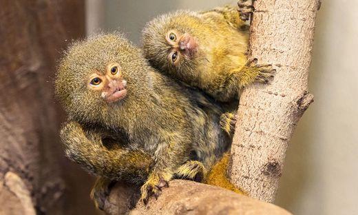 Zwergseidenaffen im Tiergarten Schönbrunn bekamen Zwillinge
