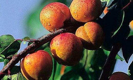 Gefahr durch Blausäure - Niederbayerische Firma ruft Aprikosenkerne zurück
