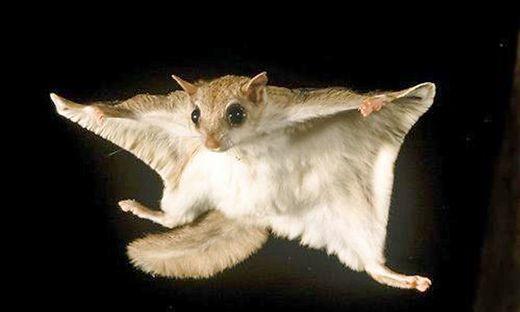 Ein Pteromyini, auch Flug- oder Gleithörnchen genannt