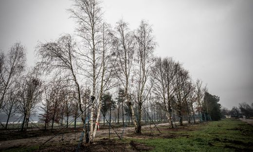 Der letzte Rest, der in Kärnten verbliebenen Bäume steht in der Nähe der Universität