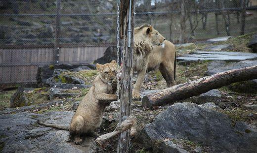 Die Löwen in der Tierwelt Herberstein