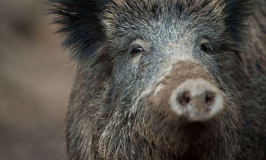 Angeschossenes Wildschwein tötet Jäger in Neuenkirchen