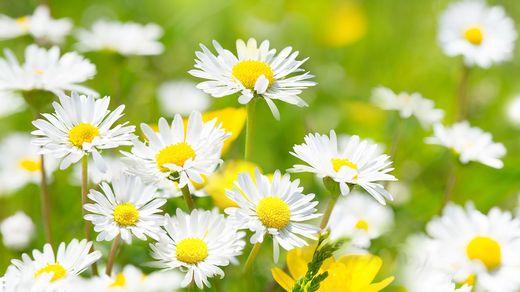 Gänseblümchen als Bienenretter