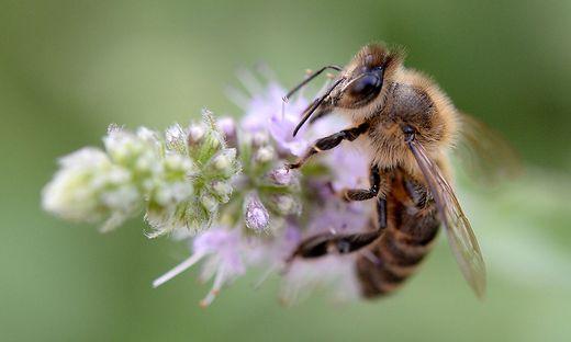 Es lebe die Biene