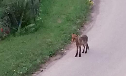 eisenerz, bezirk leoben, wolf, maehnenwolf