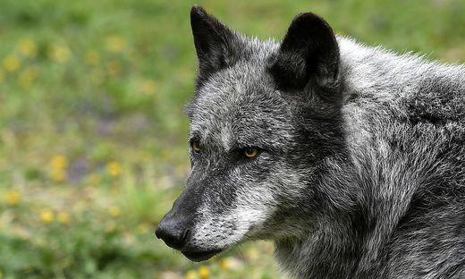 Der Wolf bereitet den Bürgern in Kärnten und Osttirol Sorgen