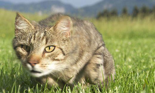 Katze im Gras - Cat in the gras
